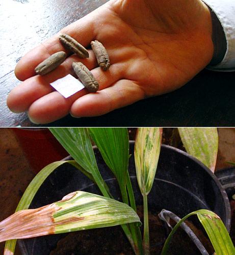 Вимерлу пальму відновили з насіння, знайденого археологами